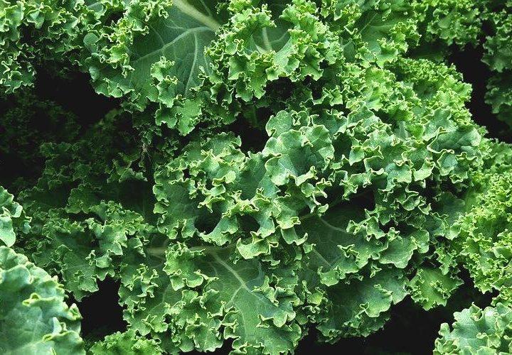 Odla grönkål